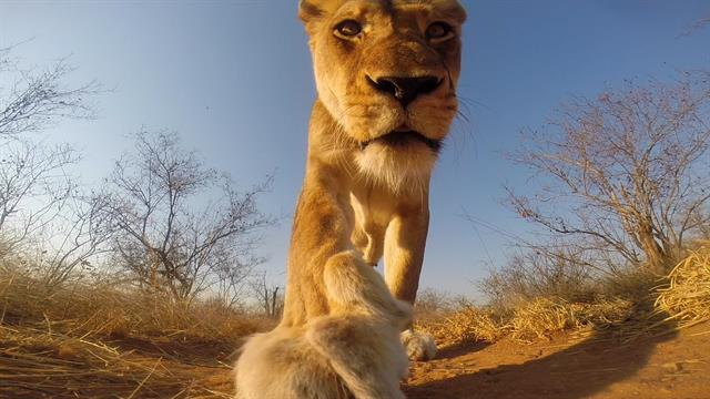 African Animal Wallpaper Border Watch This Is What Happens When A Lion Steals A Gopro