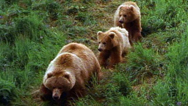 Babies Wallpaper Cute Grizzly Mom Teaching Cubs