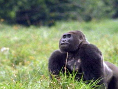 Baby Live Wallpaper Hd Gorilla Vs Gorilla