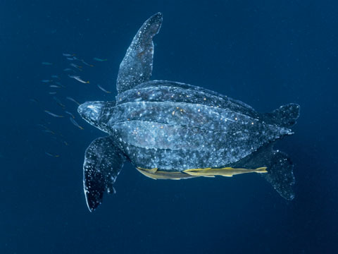National Geographic Fall Wallpaper Leatherback Turtles