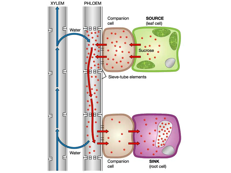 251 Phloem Transport A* understanding for iGCSE Biology PMG Biology