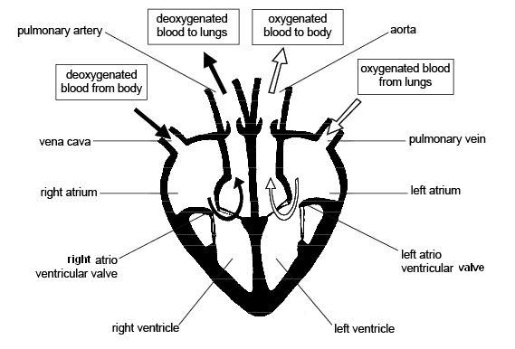 Cardiac cycle and the Human Heart A* understanding for iGCSE