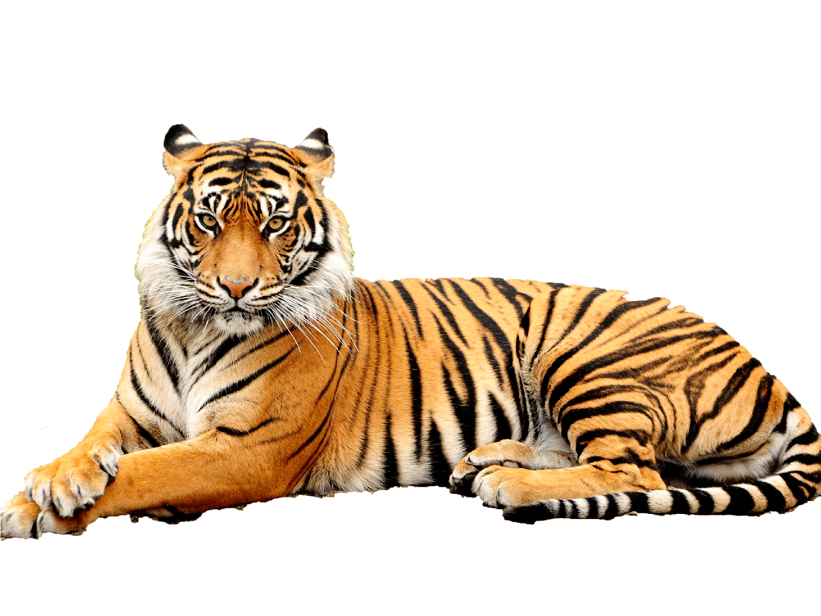 Black And White Striped Wallpaper Sitting Tiger Png Transparent Picture Free
