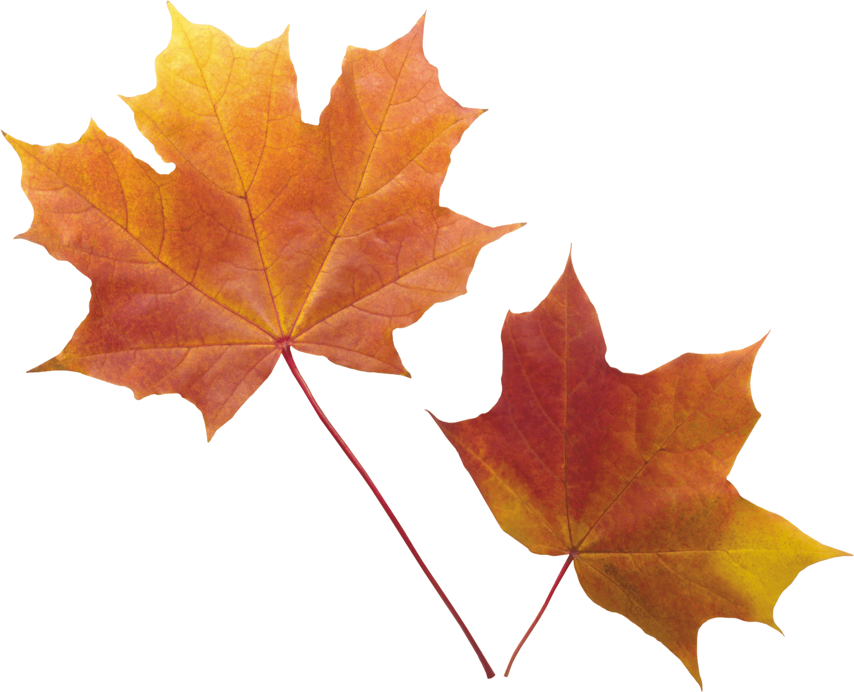 Falling Leaves Wallpaper Free Download Autumn Leaves Png Images Free Png Yellow Leaves Pictures