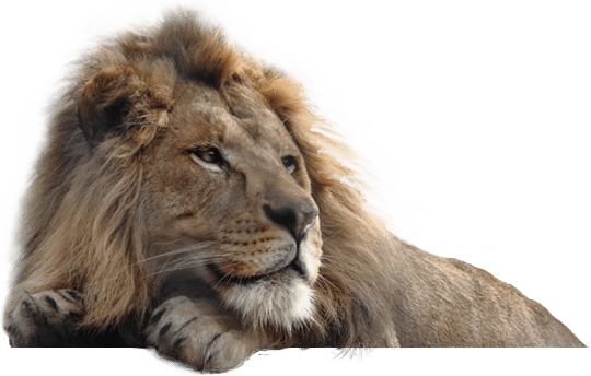 Forest Animal Wallpaper Lion Png