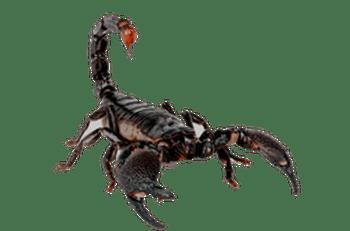 Animal Wallpaper Download Scorpion Png