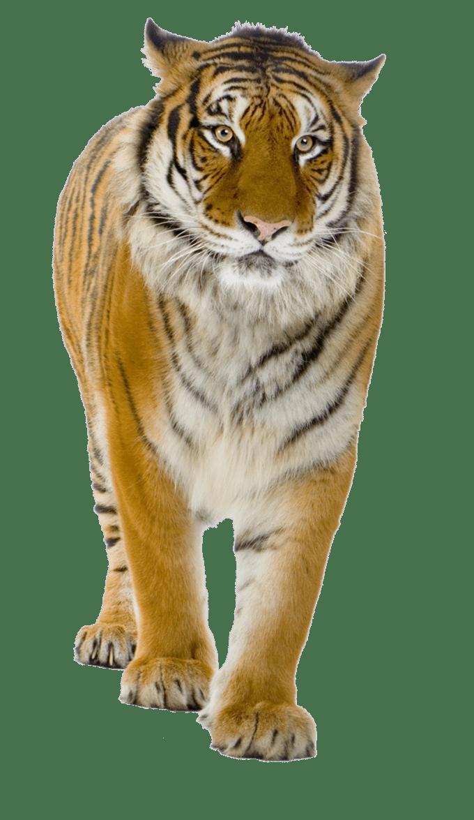 Best 3d 4k Wallpaper Tiger Png Image Free Download Tigers