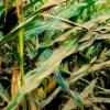 мозаїка листя кукурудзи