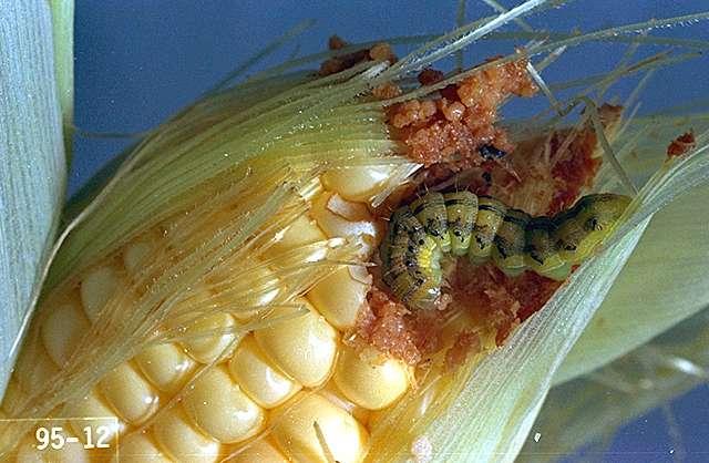 corn ear worm