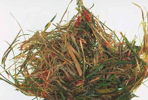Lawn and Turf-Red Thread Pacific Northwest Pest Management Handbooks