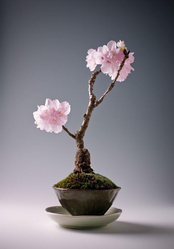 bonsai-trees-3
