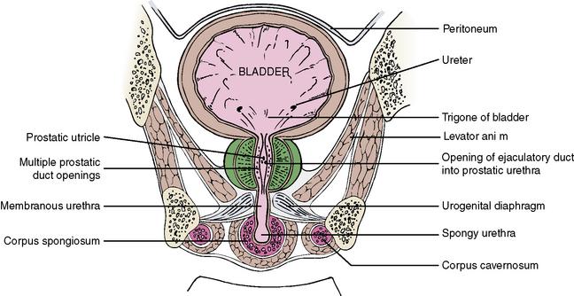 4 The Abdomen Pelvis And Perineum Pocket Dentistry