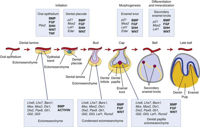 5 Development of the Tooth and Its Supporting Tissues Pocket