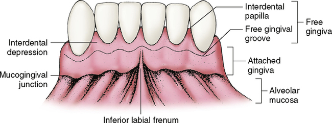 8 Supporting Structures The Periodontium Pocket Dentistry