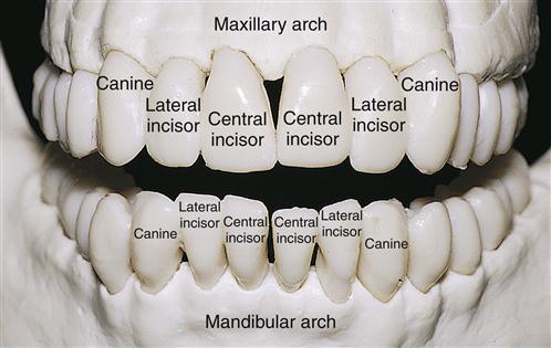 16 Permanent Anterior Teeth Pocket Dentistry