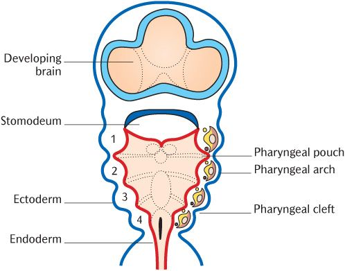 21 Embryology of the head and neck Pocket Dentistry