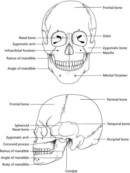 oral anatomy diagram