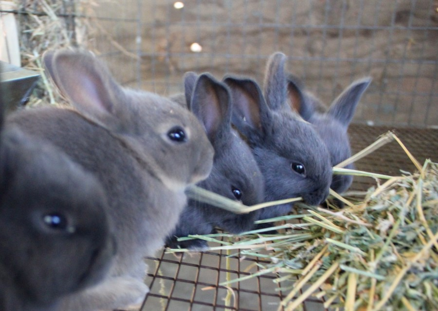 New Zealand Blue rabbit kits