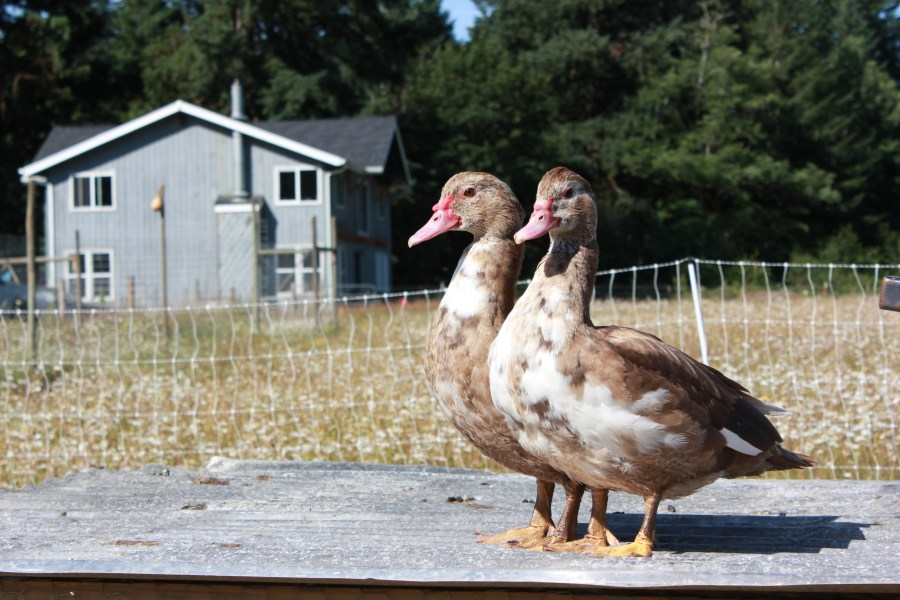 2 young hens