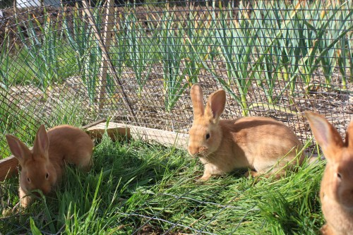 Pastured rabbits in the garden