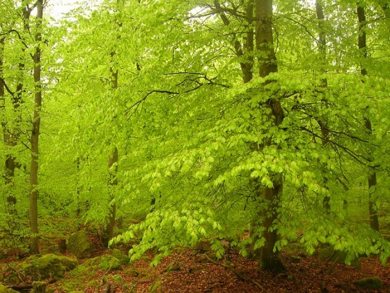 beech-forest-1625669_640