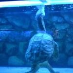 Очень редко можно наблюдать, когда черепаха набирает воздух (минут 20), которым потом дышит несколько часов под водой.