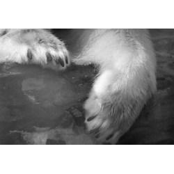 Small Crop Of Polar Bear Paw