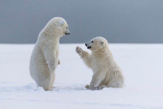 Cute Love Couple Wallpaper Full Hd Polar Bear Cubs Facts Interesting Facts About Baby Polar