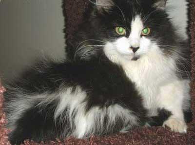 Miss America cat