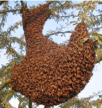 Credit: phoenix-bee-removal.com
