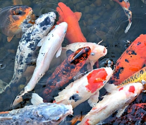 Why are my Koi Losing Color? (And How to Fix it) - Pond Informer