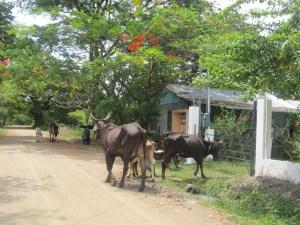 Les vaches mangent les plantes de mama tica (Christine Gagnon)