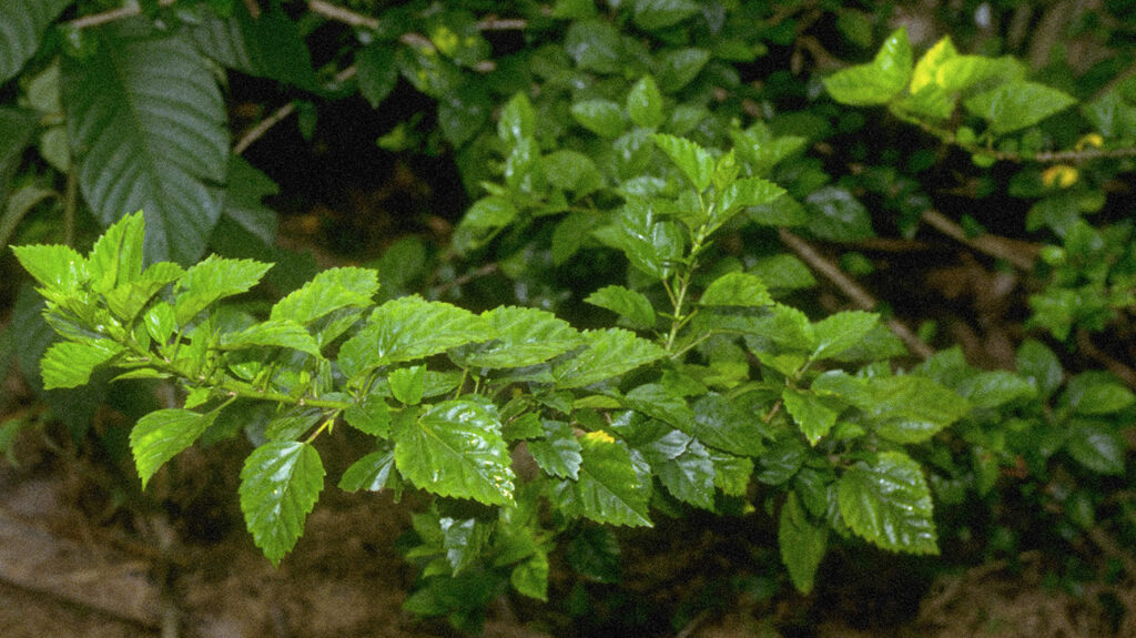 ayahuasca leaves