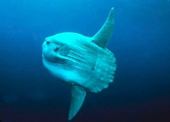 A mola mola--a really ugly mesopelagic fish