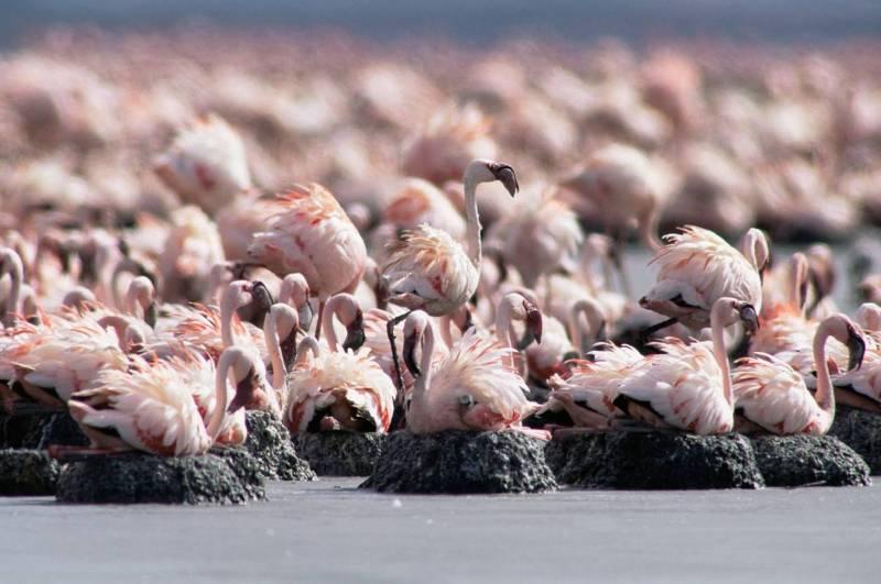 Озеро Натрон - любимое место кладки яиц розовых фламинго.
