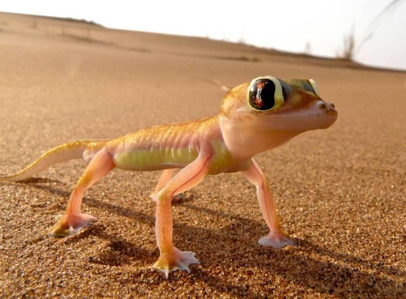 Намибийский геккон.
