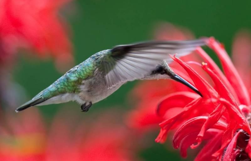 Colibri flying.