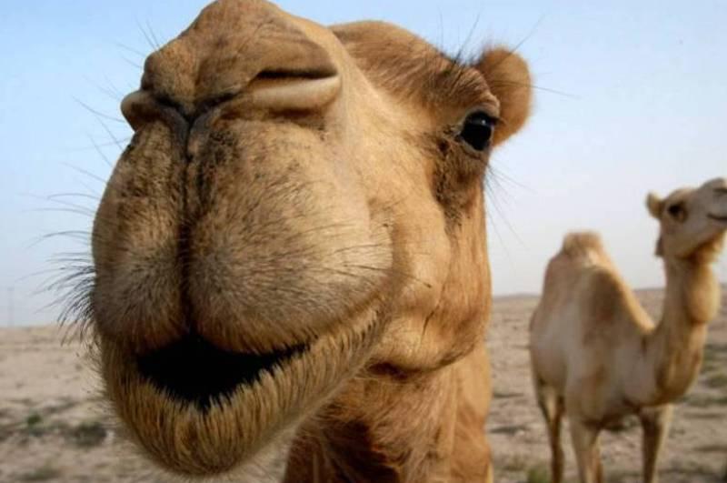 Верблюд горб нос