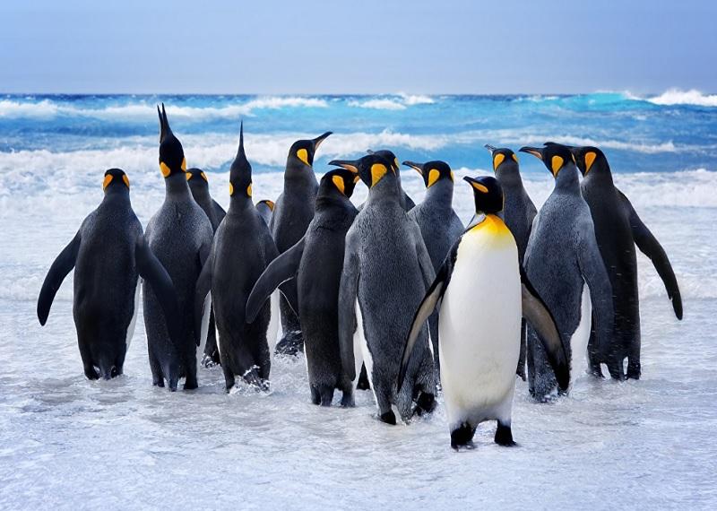 Антарктида пингвины, королевские пингвины, животные Антарктиды