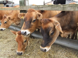 Happy Jersey cows from Ivy House Farm