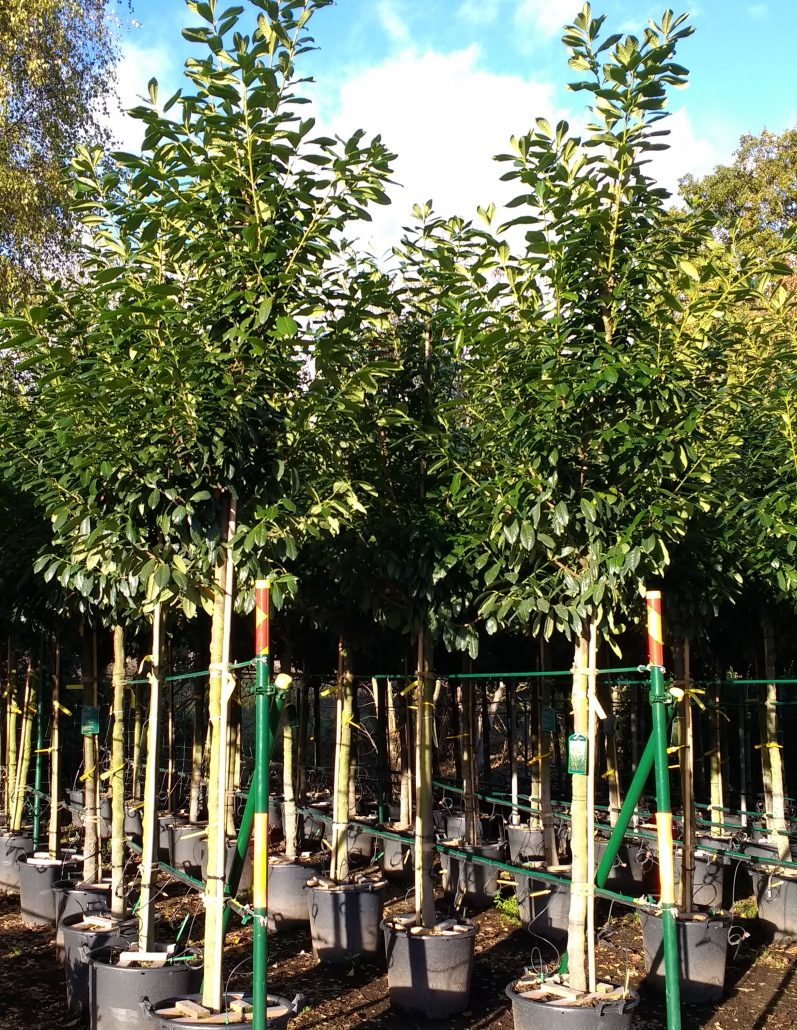 Garden Trees Top 10 Screening Trees For Privacy In Your Garden Practicality Brown