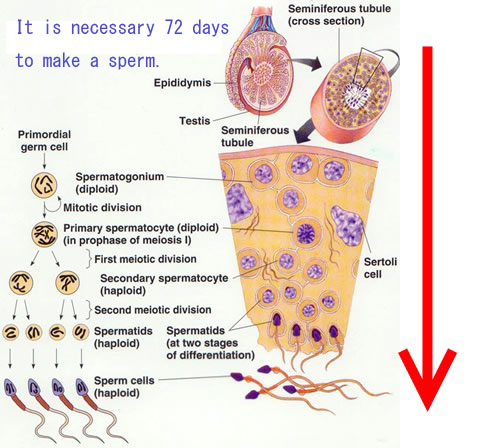 72 days long spermatogenesis
