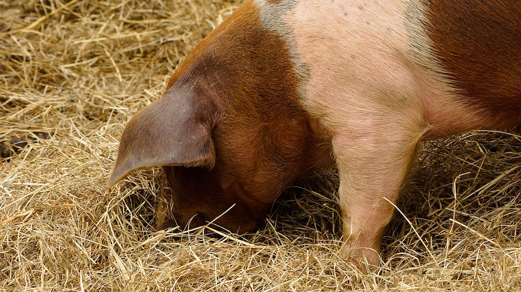 How Much Does it Cost to Raise a Pig? \u2014 Practical Self Reliance
