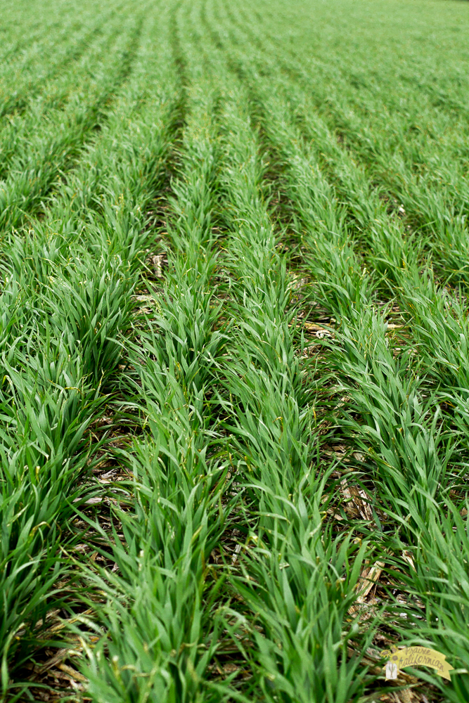 Wheat Growth Stages -