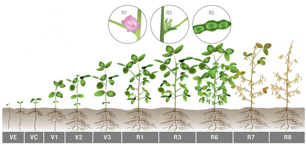 Soybean Growth Stages -