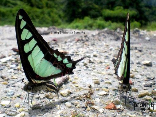 Glassy Bluebottle Butterfly