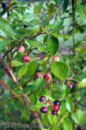 Blueberry Blush upclose
