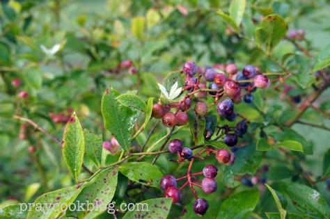 Lee's Blueberry Bush