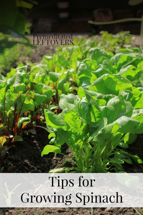 Tips For Growing Spinach In Your Garden