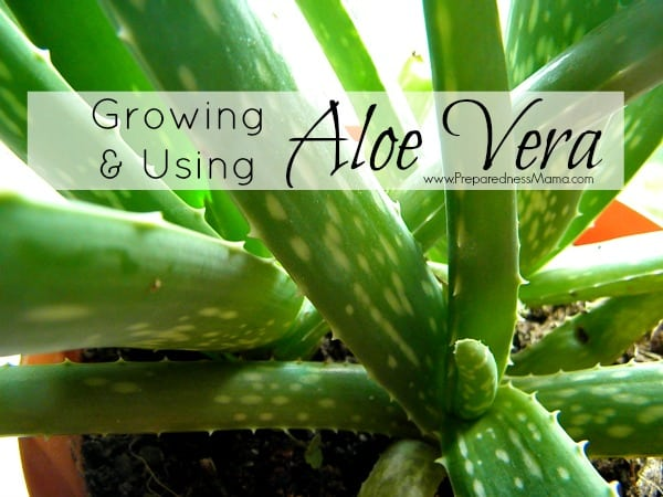 Growing And Using Aloe Vera | Preparednessmama